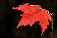 Fall Maple leaf against a dark background.