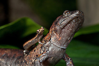 Arboreal salamanders, Bolitoglossa dofleini and Bolitoglossa rufescens, the smallest and largest salamanders in Central America