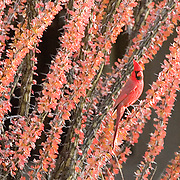 Male Cardinal in Ocotillo