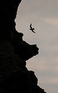 Fulmar beside cliff, Londrangar, Iceland