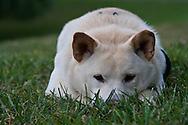 My dog, Nekoe, hides in the grass.