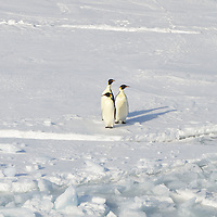 A trio of Emperor Penguins on the ice in McMurdo Sound, Antarctica.