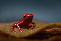 Ranitomeya opisthomelas, Andes poison dart frog, Colombia