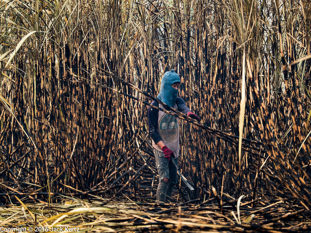02 FEBRUARY 2016 - NONG LAN, KANCHANABURI, THAILAND: Migrant farm workers from eastern Thailand cut and stack sugar cane during the harvest in Kanachanaburi province, in western Thailand. Thai sugar cane yields are expected to drop by about two percent for the 2015/2016 harvest because of below normal rainfall. The size of the crop is expected to increase slightly though because farmers planted more sugar cane acreage this year. Thailand is the second leading exporter of sugar in the world. Thai sugar growers are hoping a good crop would make up for shortages in global markets caused by lower harvests in Brazil and Australia, where sugar yields have been stunted by drought. Because of the drought in Thailand, sugar exports are expected to drop by up to 20 percent, contributing to a global sugar shortage. The drought is is also hurting the quality of Thai sugar, because sugarcane grown in drought is less sweet than normal so mills need to process more cane to make the same amount of sugar. Thai sugar farmers have lost 20 percent to 30 percent of their output this year because of the drought.           PHOTO BY JACK KURTZ