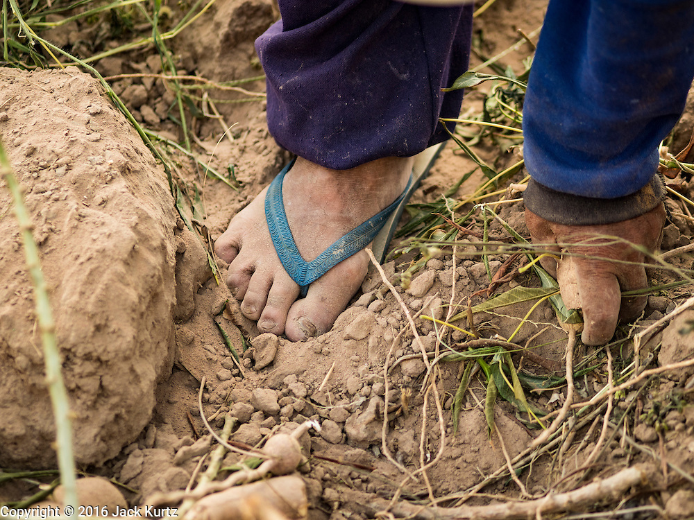 21 JANUARY 2016 - NONG YA KHAO, NAKHON RATCHASIMA, THAILAND: A farmer picks up cassava in his field in Nakhon Ratchasima province of Thailand. Cassava, a drought resistant root vegetable, is one of the vegetables the Thai government is encouraging farmers to grow instead of rice and other more water dependent crops. Thailand is the world's leading exporter of dried cassava flakes.  The drought gripping Thailand was not broken during the rainy season. Because of the Pacific El Nino weather pattern, the rainy season was lighter than usual and many communities in Thailand, especially in northeastern and central Thailand, are still in drought like conditions. Some communities, like Si Liam, in Buri Ram, are running out of water for domestic consumption and residents are traveling miles every day to get water or they buy to from water trucks that occasionally come to the community. The Thai government has told farmers that can't plant a second rice crop (Thai farmers usually get two rice crops a year from their paddies). The government is also considering diverting water from the Mekong and Salaween Rivers, on Thailand's borders to meet domestic needs but Thailand's downstream neighbors object to that because it could leave them short of water.      PHOTO BY JACK KURTZ