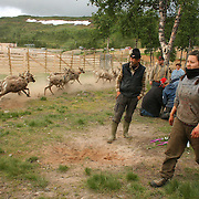 The reindeer calves are given the owners mark in the ear. Nightly work every summer. South sami people of Saanti Sijte, Mid-Norway... The reindeer calves are given the owners mark in the ear. Nightly work every summer in July. South sami people of Saanti Sijte, Mid-Norway.