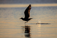 Larus dominicanus (Southern black backed gull)