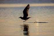 Larus dominicanus (Southern black backed gull juvenile