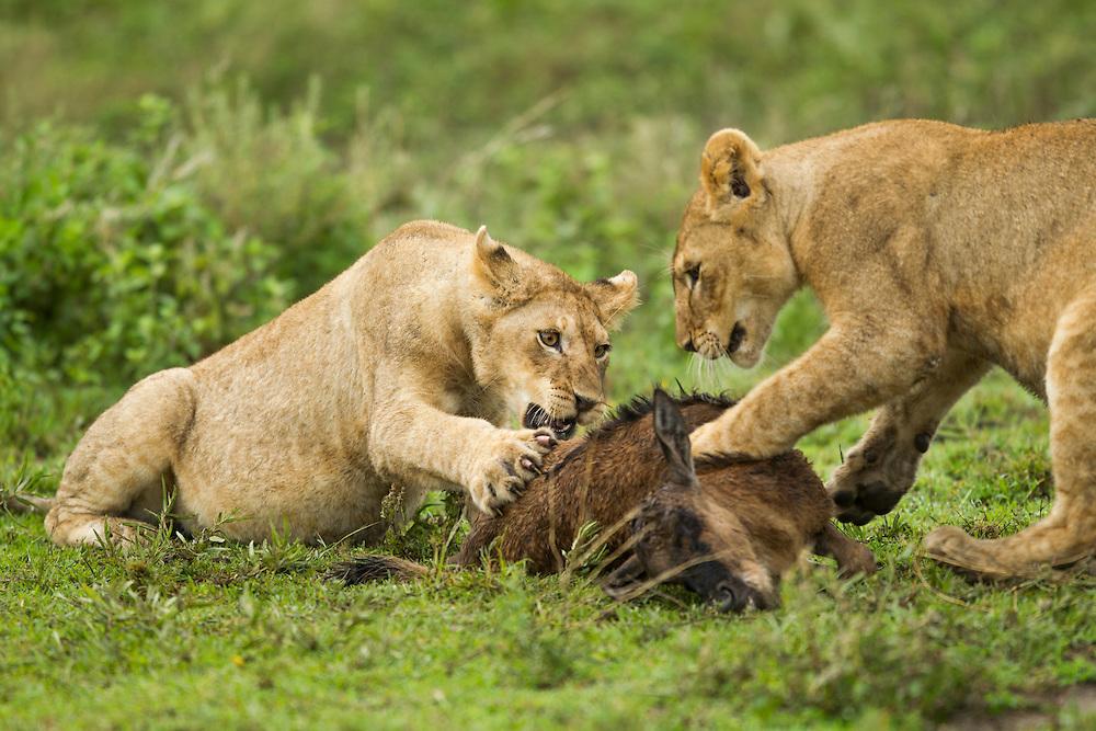 Tanzania, Ngorongoro Conservation Area, Ndutu Plains, Lion Cubs (Panthera leo) wrestle with carcass of killed Wildebeest calf on open savanna