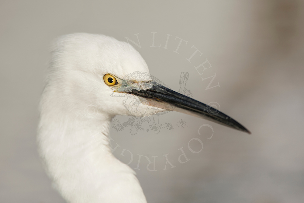 Little Egret (Egretta garzetta) adult, close up of head Norfolk, England