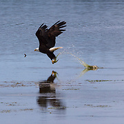 A bald eagle (Haliaeetus leucocephalus) catches a midshipman fish in the Hood Canal near Seabeck, Washington. Hundreds of bald eagles congregate in the area in the early summer to feast on migrating midshipman fish that get trapped in oyster beds during low tides.