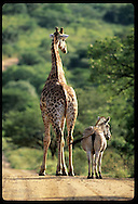 Giraffe and zebra make odd couple as they amble down road in Hluhluwe-Umfolozi Park, KZ-Natal South Africa