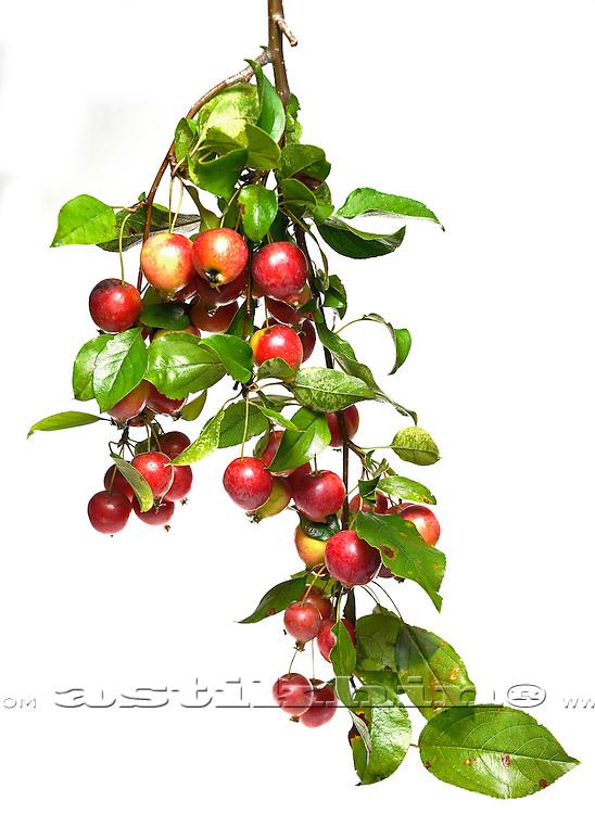 Chinese Cherry Apple.