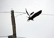Bald Eagle under attack by a Jekyll Island blackbird
