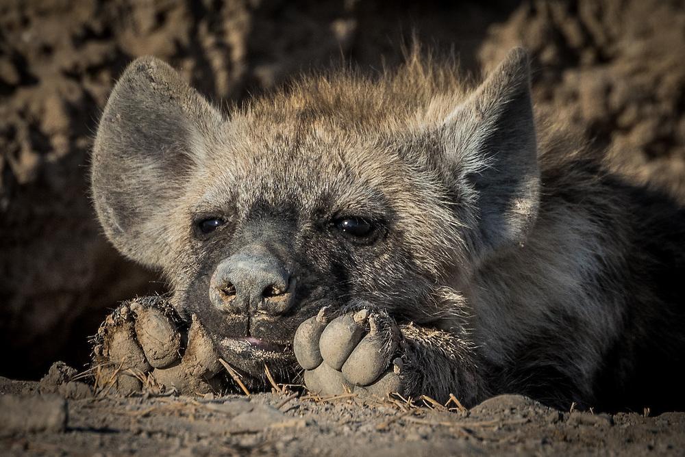 Spotted Hyena cub (Crocuta crocuta)