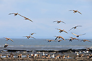 Greater White-Fronted Geese (Anser albifrons) getting ready to land to forage on Susitna Flats State Game Refuge near Beluga  in Southcentral Alaska during the spring migration. Evening.