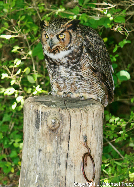A Great Horned Owl, resting on a stump next to the woods.