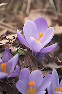 First Spring Crocus flowers, pushing through leaf litter
