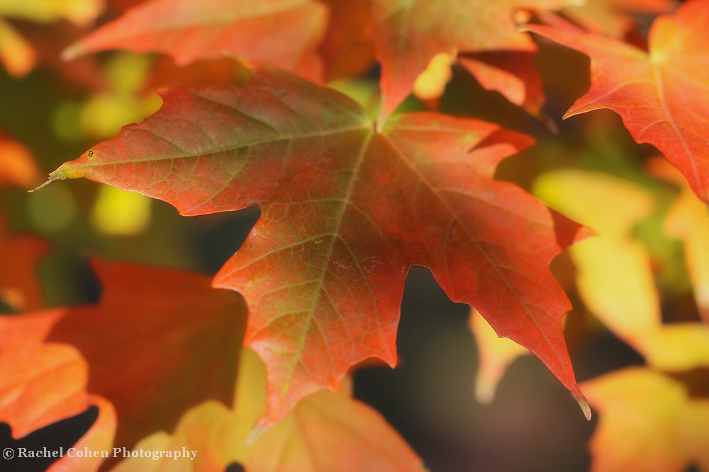 &quot;As the Maple Turns&quot; <br /> <br /> Beautiful maple leaves in fall turning from green to orange. hues of red, orange, and yellow!