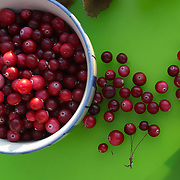 Cranberries ( Vaccinium oxycoccos. The popularity is growing because of nutrient content and antioxidant qualities, recognized as a &quot;superfruit&quot;. These are wild ones from Norway.<br />  <br />  <br />  <br />  <br />  <br />  <br /> Vaccinium oxycoccos
