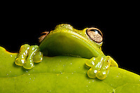 A treefrog, Hyloscirtus sp., peers from behind a leaf in the Choco of Colombia