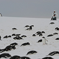 Gentoo Penguin ( Pygoscelis papua )  rookery.Model Released photo in a snow blizzard at Yankee Harbour.