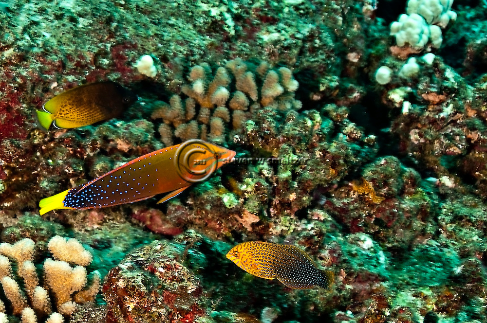 Shortnose wrasse macropharyngodon geoffroy yellowtail for Molokai fish and dive