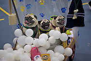 This won the hand made costumes and was something like Rub a Dub Dub Three Pugs in a Tub. .The 6th Annual Milwaukee Pug Fest was held Sunday May 16. 2010 at the Milwaukee Sports Complex in Franklin, Wisconsin.