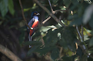 Blue-crowned Trogon (Trogon curucui), Pantanal, Brazil
