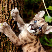 Calusa, a 2-month-old Florida panther cub, scratches at a tree during her playtime at Lowry Park Zoo in Tampa. Lucy, as her caretakers call her, was found abandoned and lethargic by wildlife officers so she was placed with the zoo by the Florida Fish and Wildlife Conservation Commision on Aug. 8. Lucy will likely go on display at the zoo in 6-8 weeks.
