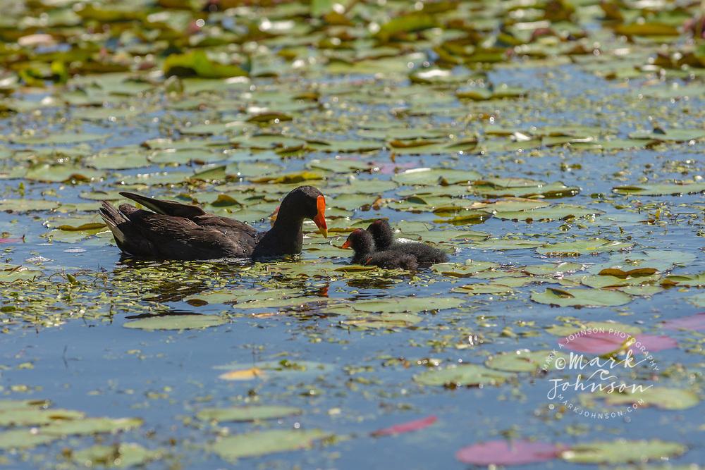 Dusky Moorhen with chicks, (Gallinula tenebrosa), The Lakes, UQ, Brisbane, Queensland, Australia