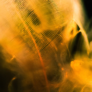 Daphnia carapace close-up seen under the dark-field microscope.