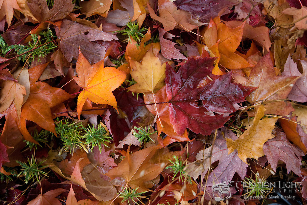The colorful leaves of fall create a beautiful pallete of color on the ground as leaves from multiple trees mix. Picture was taken at Lithia Park in Ashland, Oregon.