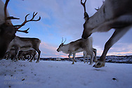 Midday Arctic dusk of January settles over icy coastal field where reindeer are fed special pellets having been fenced in since November when unseasonal early snows stranded herd near Tromso, Norway.