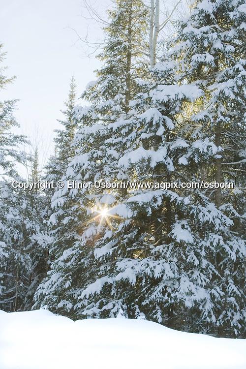 Sunstar in balsam fir