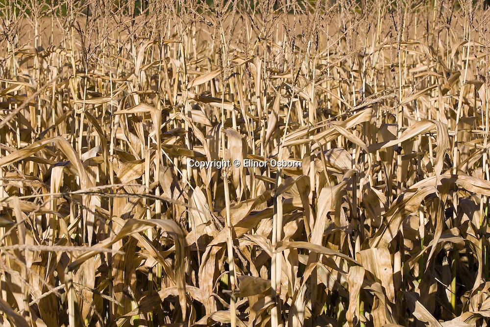 Cornfield in autumn