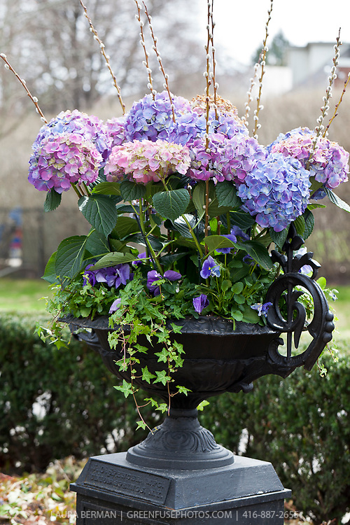 Large blue and pink hydrangeas with purple pansies and ivy in a black cast iron urn.