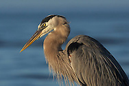 The great blue heron is a common sight along Florida's Gulf Coast. These magnificent birds can be found in fresh and salt water marshes, mangroves, lake edges and feeding along the shoreline. This male in breeding plumage was photographed as he hunted at Bunch Beach Preserve in the Gulf of Mexico.