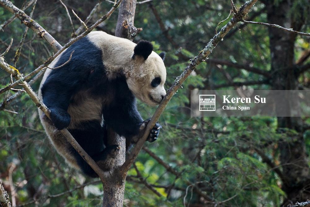 Giant panda on tree, Wolong Panda Reserve, Sichuan, China