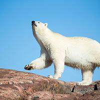 Canada, Nunavut Territory, Repulse Bay,  Polar Bear (Ursus maritimus) sniffs while walking along Harbour Islands near Arctic Circle