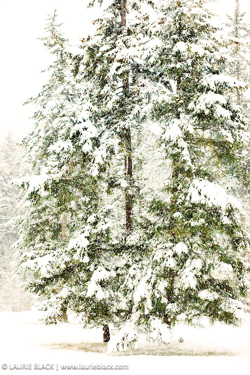 Fir trees in winter snow storm