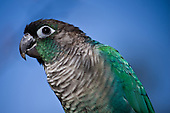 Turquoise Green Cheek Conure Parrot Parakeet Pictures - Photos