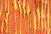 The paper-like red bark peels from a Pacific madrone (Arbutus menziesii) tree near Port Townsend, Washington. Pacific Madrones are part of the arbutus genus. Pacific Madrones are found on the west coast of North America from British Columbia to central California, and on the western slopes of the Sierra Nevada and Pacific Coast mountains.