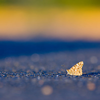 Butterfly resting on the pavement in a parking lot in Boulder, Colorado