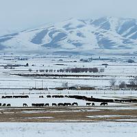 USA, Utah, Virginia, cattle in winter