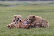 Alaska Brown Bears 2016