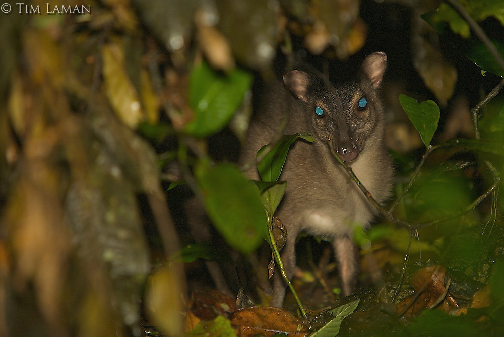 Blue Duiker (Cephalophus monticola melanorheus), subspecies endemic to Bioko Island.