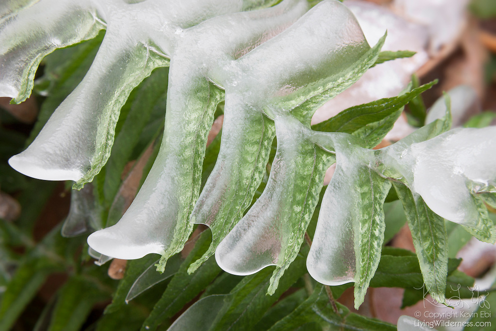 The blades of a licorice fern (Polypodium glycyrrhiza), located near Elowah Falls on the Oregon side of the Columbia River Gorge, are covered in ice after a week of subfreezing temperatures.