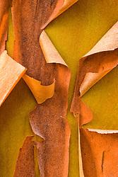 peeling  bark Pacific Madrona (Arbutis Menziesii), Kitsap Peninsula, WA, USA