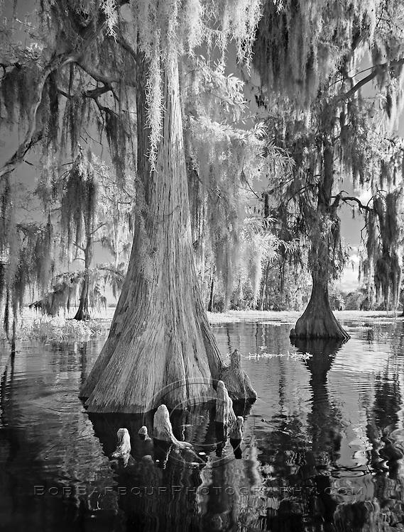 Infrared photo of cypress tree and knees at Blue Cypress Lake, Florida